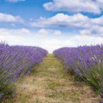 Lavendelvelden in Zuid Frankrijk